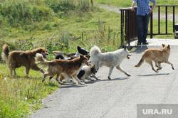 Виды Верхней Салды, собака, стая собак, бродячие животные