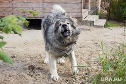 Клипарт 7. Нижневартовск, нападение, опасность, злая собака
