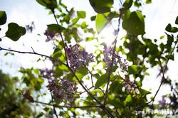 Виды Екатеринбурга, дерево, сирень, растение, солнце