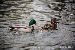 Виды города. Екатеринбург, утки, водоплавающие птицы