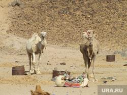 Египет, отдых туристов, верблюд, пустыня