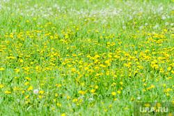 Обстановка в городе во время эпидемии коронавируса. Челябинск, газон, трава, одуванчик, сорняк