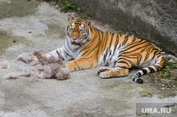 Тигры в зоопарке. Челябинск., тигр, тигрица лаффи
