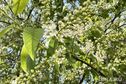 Цветёт черемуха. Челябинск, цветы, весна, черемуха, дерево