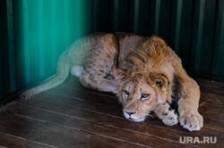 Приют диких животных «Спаси меня» Карена Даллакяна. Челябинск, лев, зоопарк, приют животных, симба, львенок
