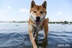 Виды Екатеринбурга, собака, выгул собак, домашний питомец, породистая собака, сиба-ину, купание собак