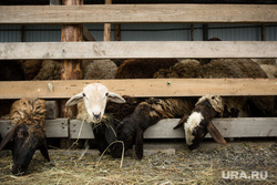 Курбан-байрам. Сургут, домашний скот, бараны в загоне