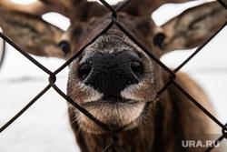 Горнолыжный комплекс «Гора Белая». Свердловская область, олень, морда, ограждение, клетка, дикое животное