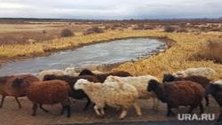 Шадринский элеватор «Агро-Клевер». Шадринск, овцы, бараны, озеро, осень
