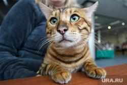 Выставка кошек ко Дню города Екатеринбурга, кот, домашний питомец, порода тойгер