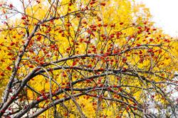 Клипарт. Осень. Челябинск, желтые листья, золотая осень, береза, осень
