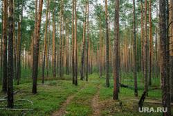 Природа ХМАО. Сургут, сосны, лес, природа, пейзаж