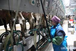 Открытие молочной фермы в селе Петелино. Тюменская область, дойка коров, молочная ферма