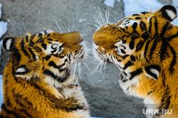 Амурские тигры. Челябинск, амурский тигр, матис, лаффи