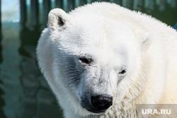 Обитатели Екатеринбургского зоопарка. Екатеринбург, белый медведь
