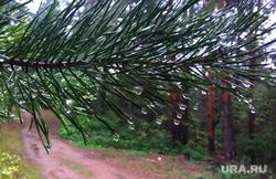 Жанровые фотографии. Пермь, лес, сосна, капли дождя, капли воды, ветка дерева, дождь, осень