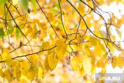 Осень. Тюмень, листья, желтые листья, осень, листья желтые