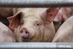Открытие бойни скота в селе Частоозерье. Курган , свинина, свинья, домашний скот, туша свиньи