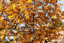 Осень. Тюмень, желтые листья, золотая осень, листья дуба