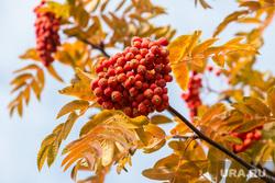 Осенний город. Тюмень, рябина, погода, листья, желтые листья, осень, осенние листья