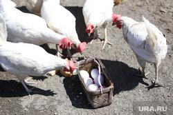 Курятник. Курган, куриные яйца, курицы несушки